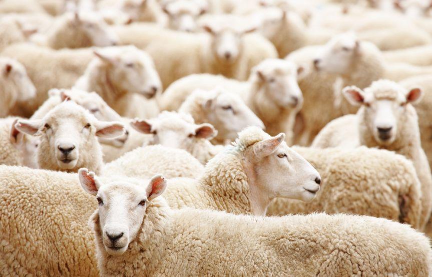 herd:sheep